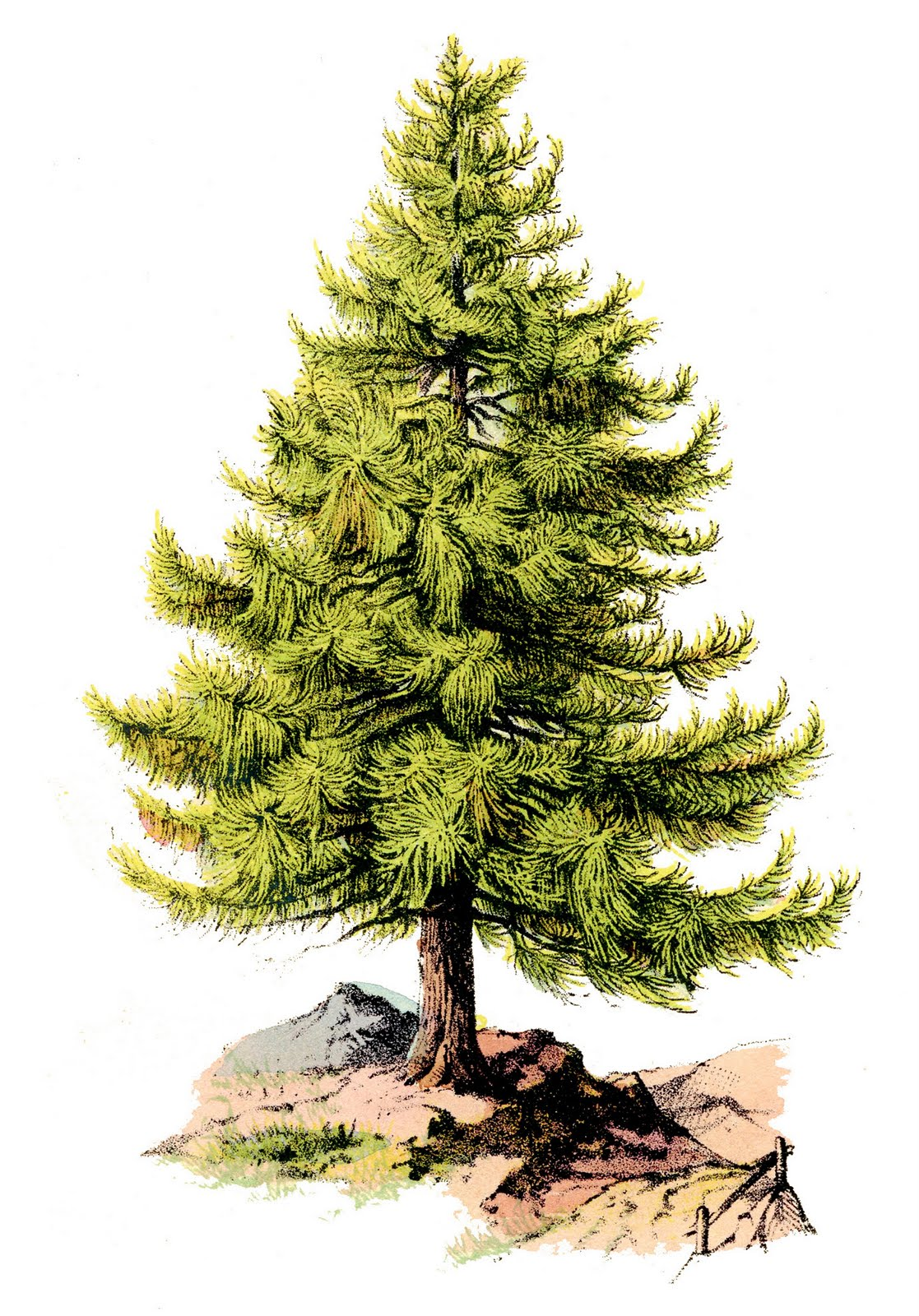 Pine clipart #15, Download drawings