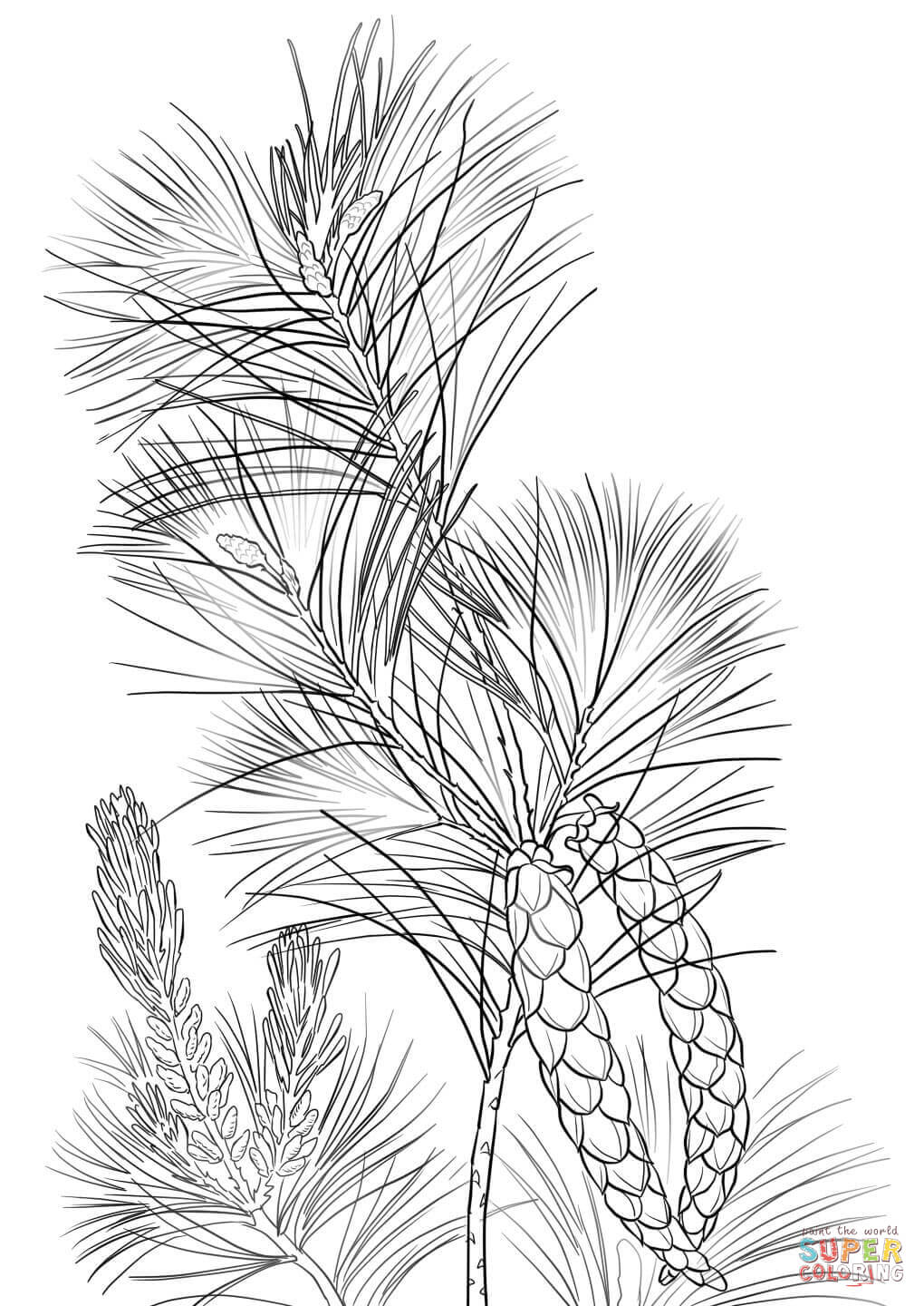 Pine Cone coloring #19, Download drawings