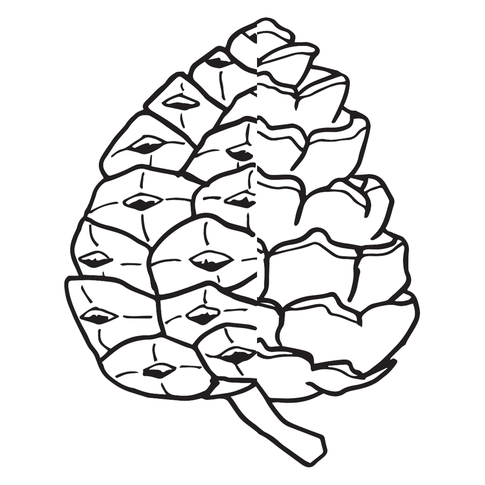 Pine Cone coloring #3, Download drawings