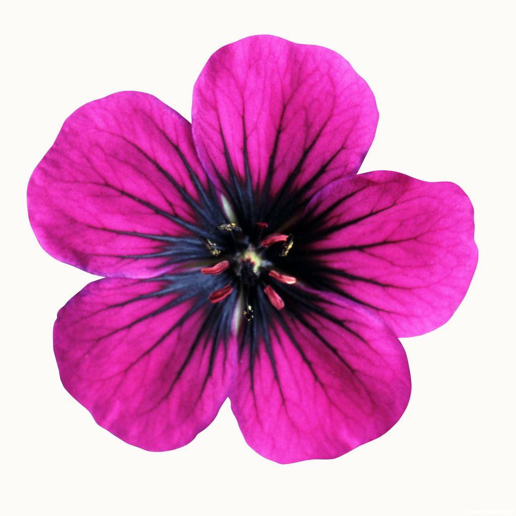 Purple Flower coloring #15, Download drawings