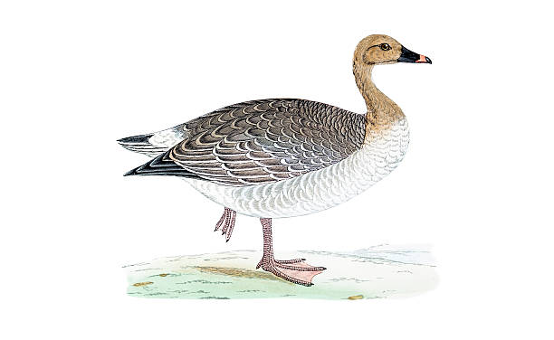 Pink-footed Goose clipart #17, Download drawings