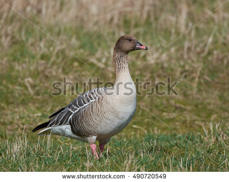 Pink-footed Goose clipart #13, Download drawings