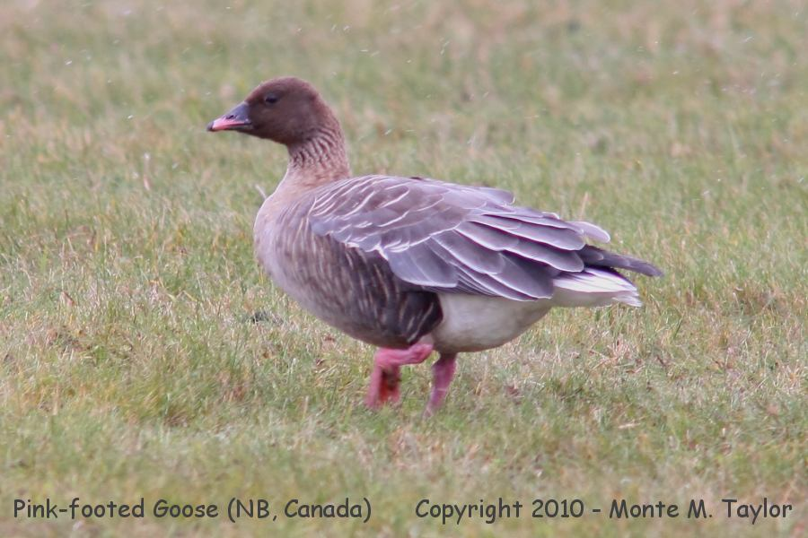 Pink-footed Goose clipart #6, Download drawings