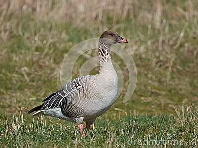Pink-footed Goose clipart #11, Download drawings