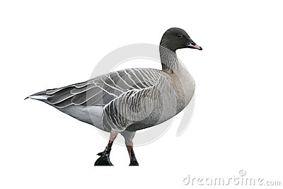 Pink-footed Goose clipart #9, Download drawings