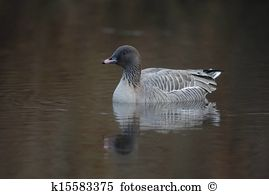 Pink-footed Goose clipart #5, Download drawings