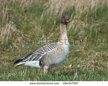 Pink-footed Goose clipart #1, Download drawings