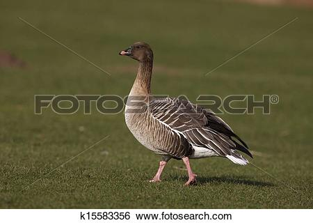 Pink-footed Goose clipart #18, Download drawings