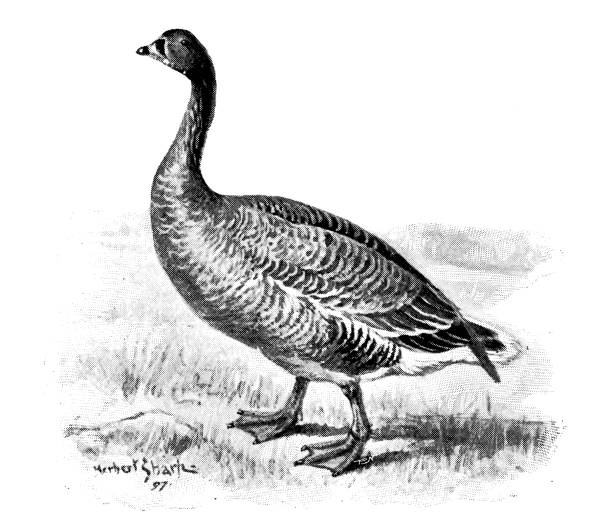 Pink-footed Goose clipart #20, Download drawings