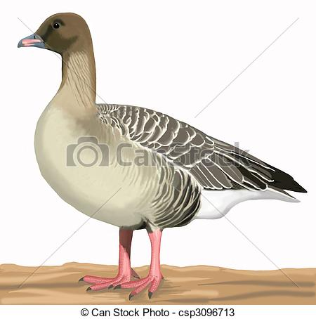 Pink-footed Goose clipart #19, Download drawings