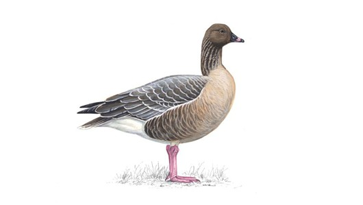 Pink-footed Goose clipart #16, Download drawings