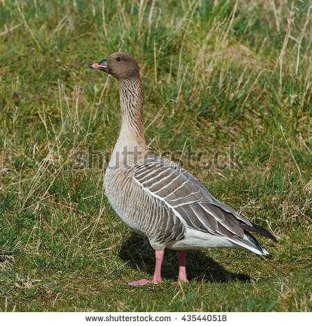 Pink-footed Goose clipart #10, Download drawings