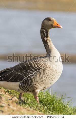 Pink-footed Goose clipart #14, Download drawings