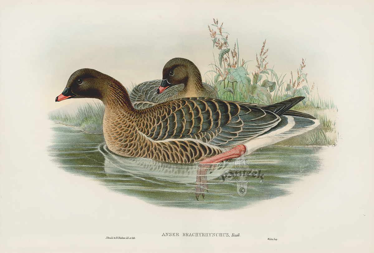 Pink-footed Goose coloring #4, Download drawings