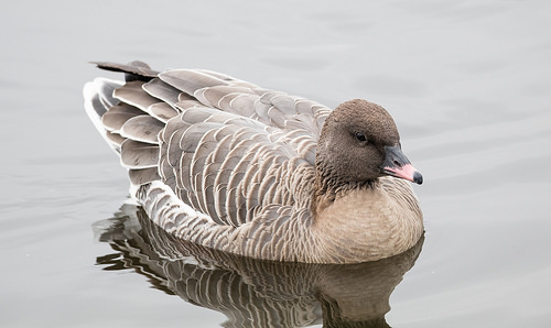 Pink-footed Goose coloring #6, Download drawings