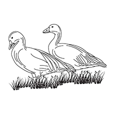 Pink-footed Goose coloring #7, Download drawings