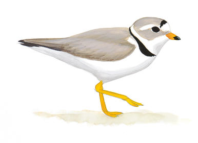 Snowy Plover clipart #1, Download drawings