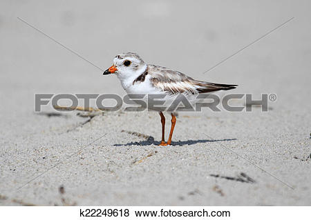 Piping Plover clipart #9, Download drawings