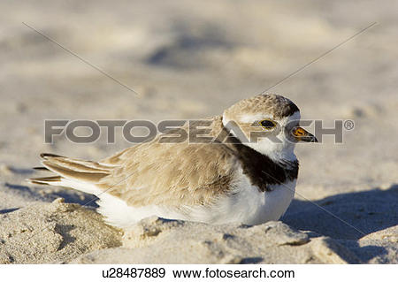Piping Plover clipart #1, Download drawings