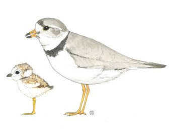 Piping Plover clipart #5, Download drawings
