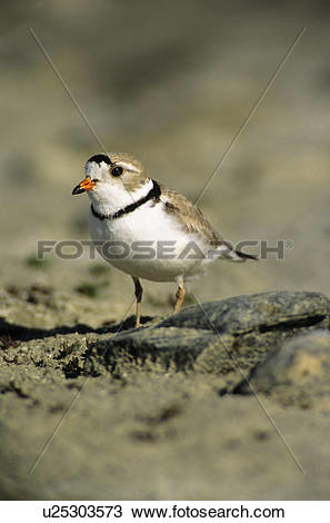 Piping Plover clipart #7, Download drawings