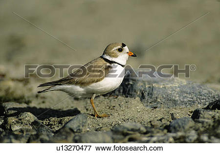 Piping Plover clipart #6, Download drawings
