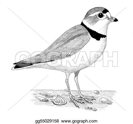 Plover clipart #12, Download drawings