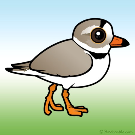 Piping Plover clipart #8, Download drawings