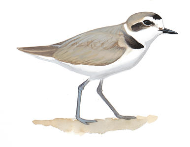 Snowy Plover clipart #2, Download drawings