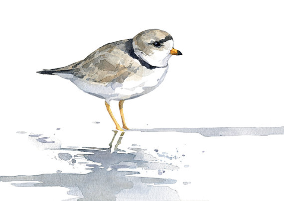 Piping Plover clipart #13, Download drawings