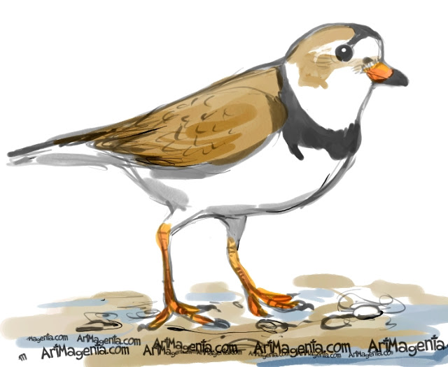 Piping Plover clipart #12, Download drawings