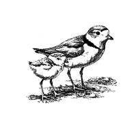 Piping Plover clipart #15, Download drawings