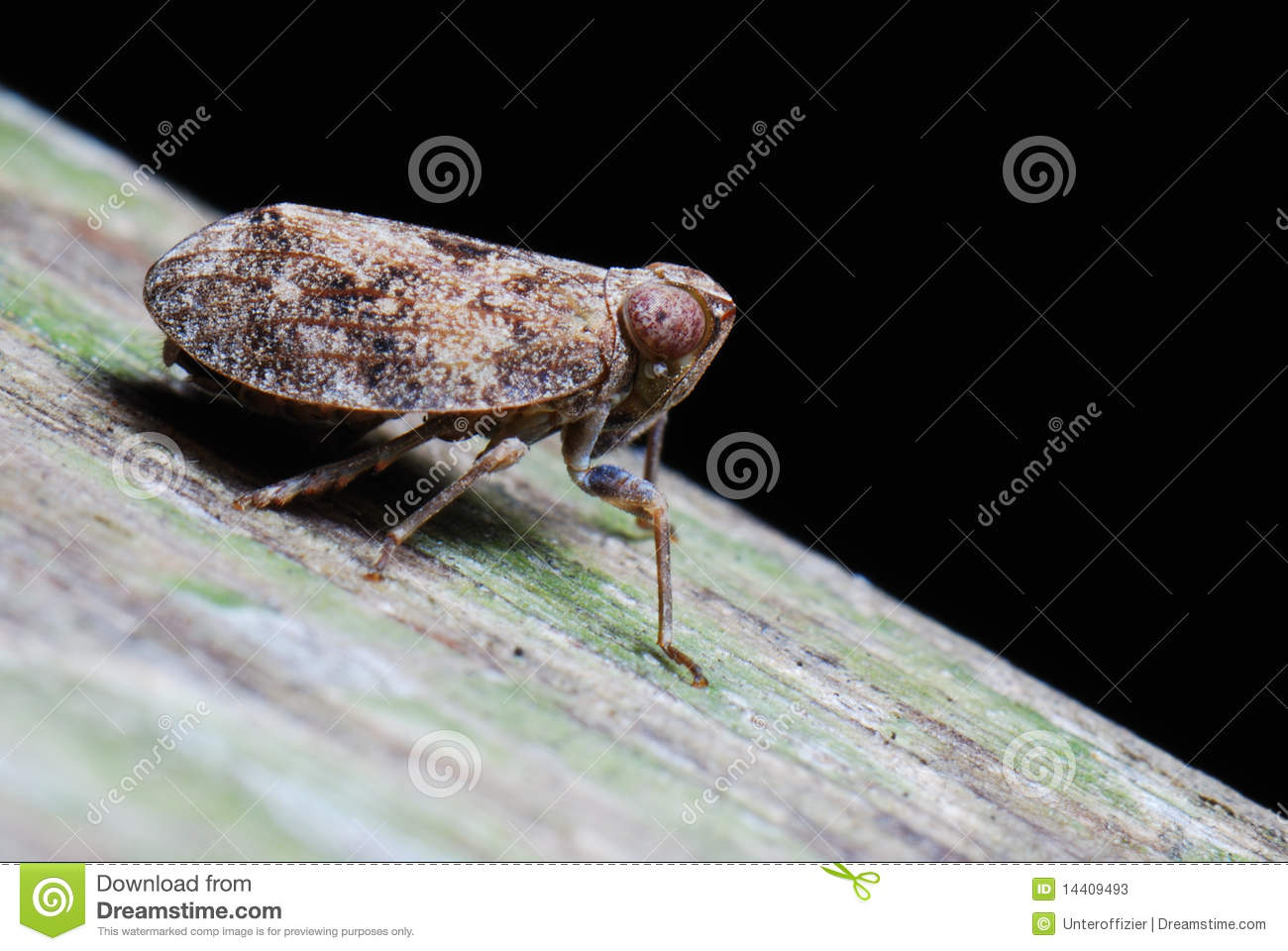 Planthopper clipart #8, Download drawings