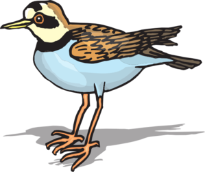 Plover clipart #19, Download drawings
