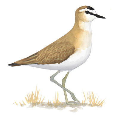 Plover clipart #4, Download drawings