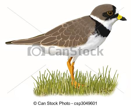 Plover clipart #16, Download drawings