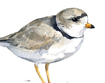 Plover clipart #17, Download drawings