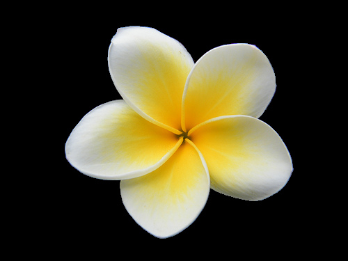 Plumeria clipart #11, Download drawings
