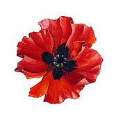 Poppy clipart #10, Download drawings