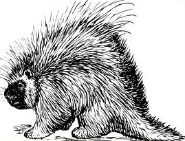 Porcupine clipart #13, Download drawings