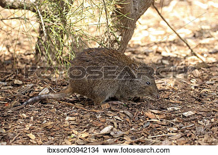 Potoroo clipart #13, Download drawings