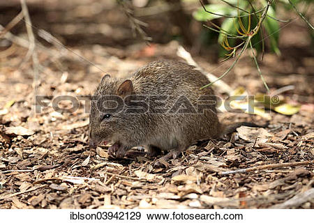 Potoroo clipart #15, Download drawings