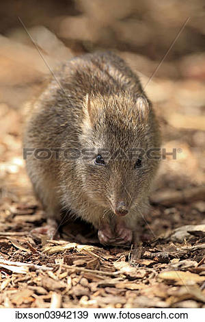 Potoroo clipart #10, Download drawings