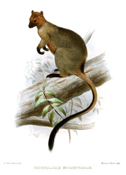 Potoroo clipart #18, Download drawings