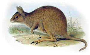 Potoroo clipart #19, Download drawings