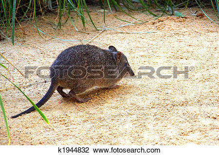 Potoroo clipart #16, Download drawings