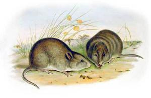 Potoroo clipart #17, Download drawings