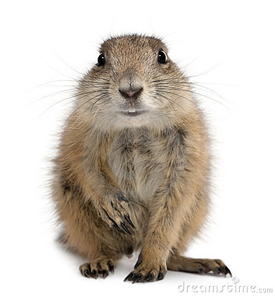 Prairie Dog clipart #13, Download drawings