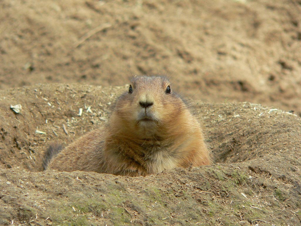 Prairie Dog clipart #16, Download drawings