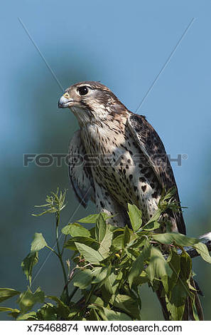 Prairie Falcon clipart #17, Download drawings
